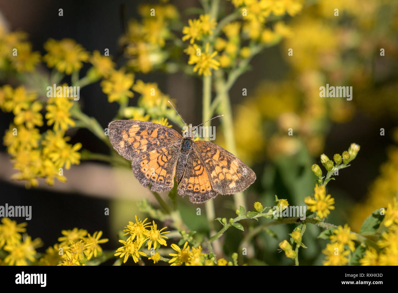 Crescent (Phyciodes) butterfly Prince Edward Point National Wildlife Area, Ontario, Canada - the Northern Crescent (Phyclodes cocyta) and the very sim - Stock Image