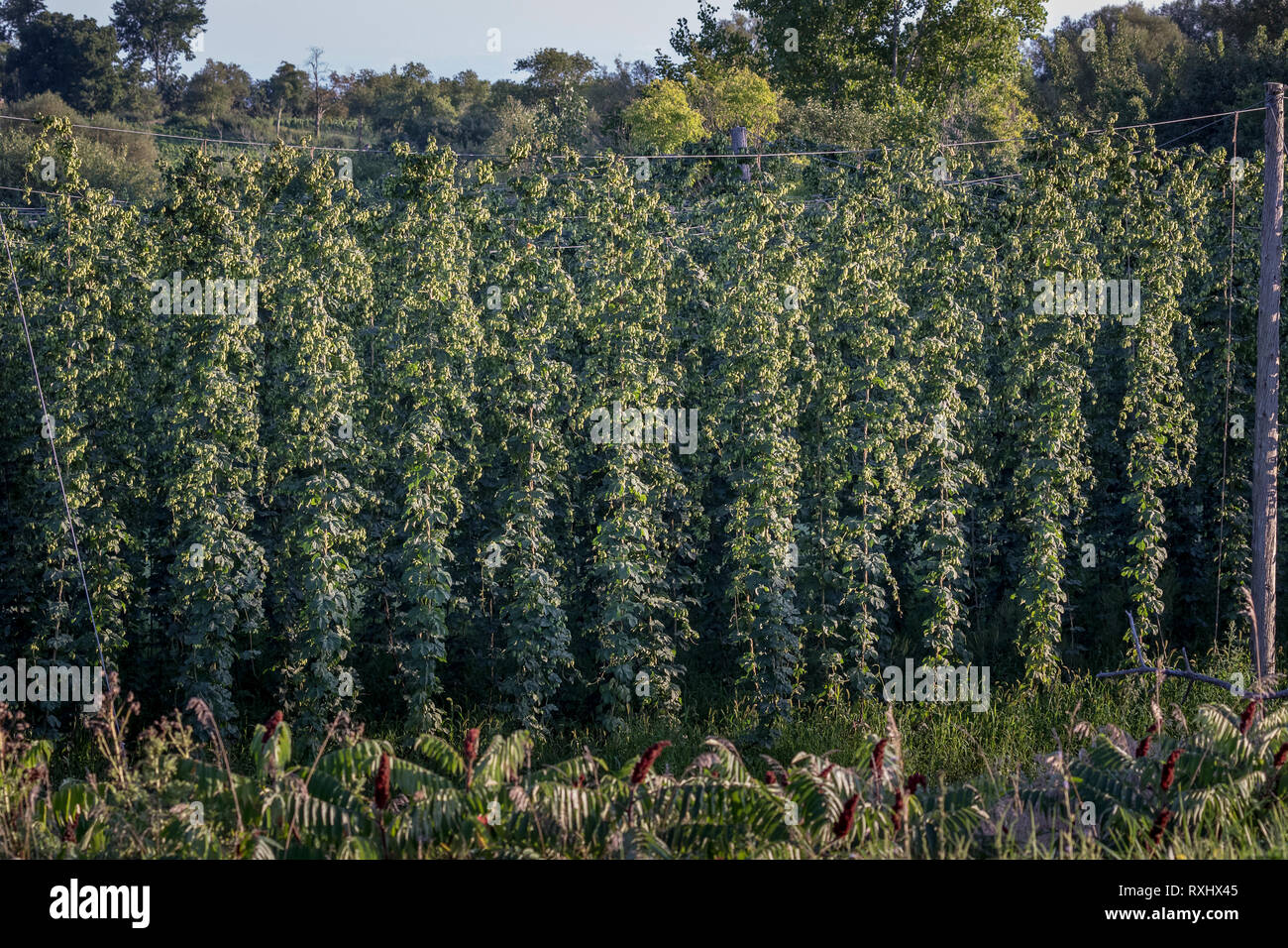 Crop of Hops in Prince Edward County, Ontario, Canada - Hops are used in the beer making industry - Stock Image