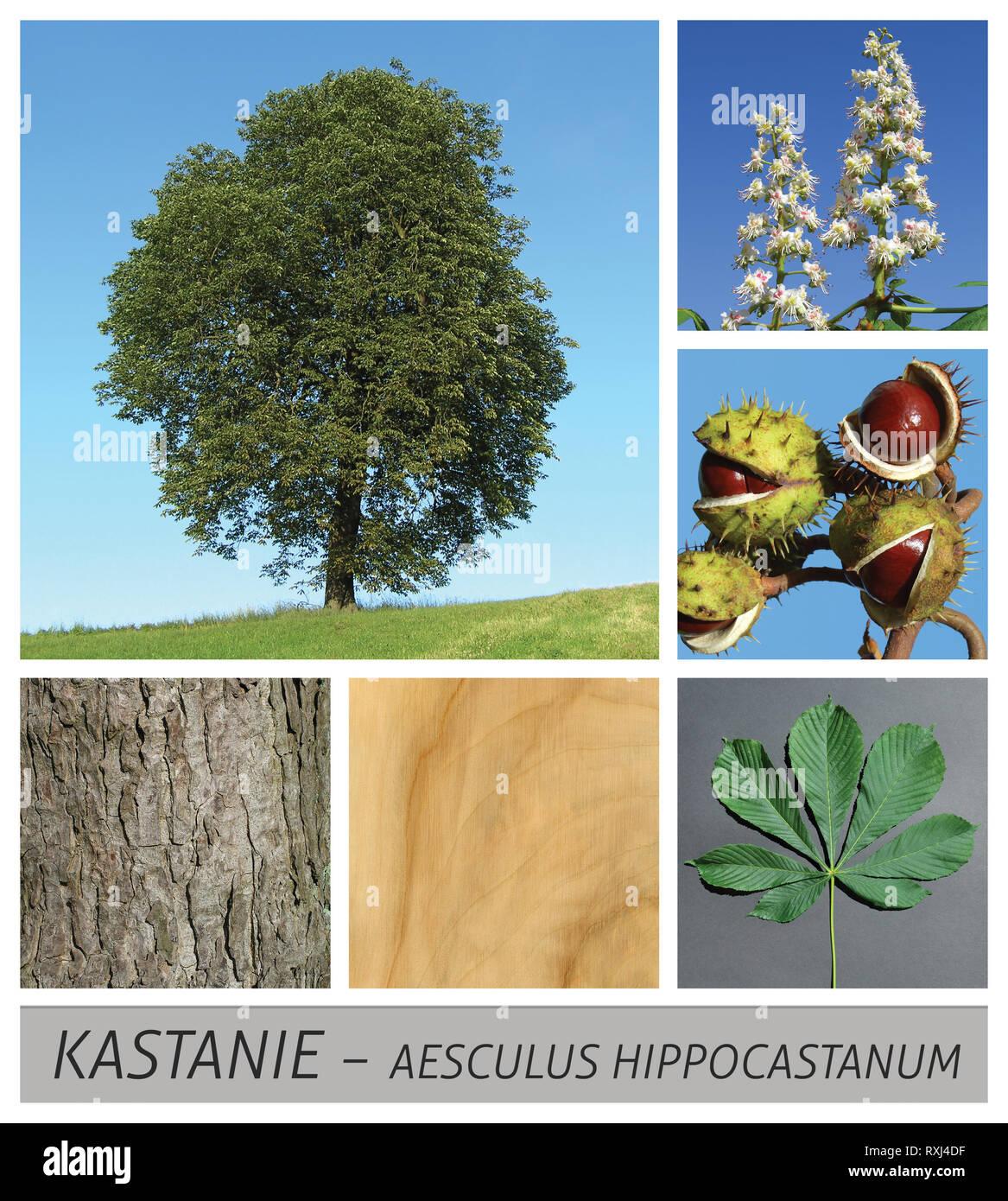 chestnut, common, horse chestnut, aesculus, hippocastanum, tree - Stock Image