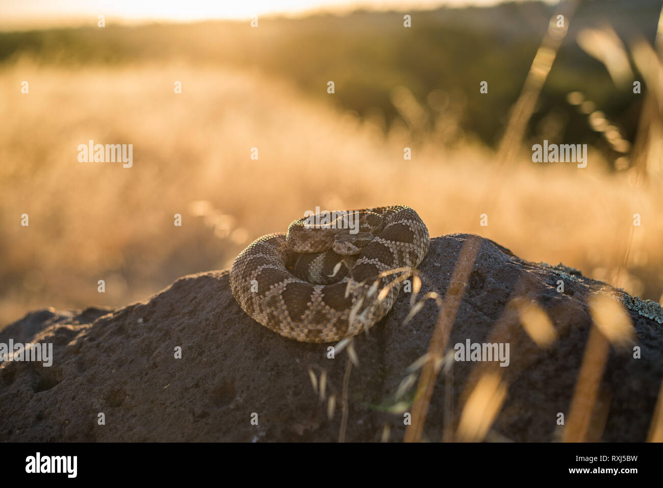 Northern Pacific Rattlesnake coiled on top of a rock, late on a summer afternoon near an oak woodland hillside. - Stock Image