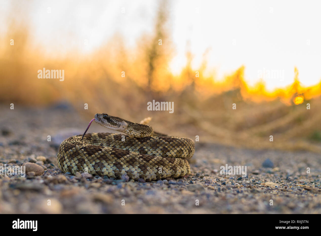 A large Northern Pacific Rattlesnake curiously and defensively poses and raises his head to watch the photographer. - Stock Image
