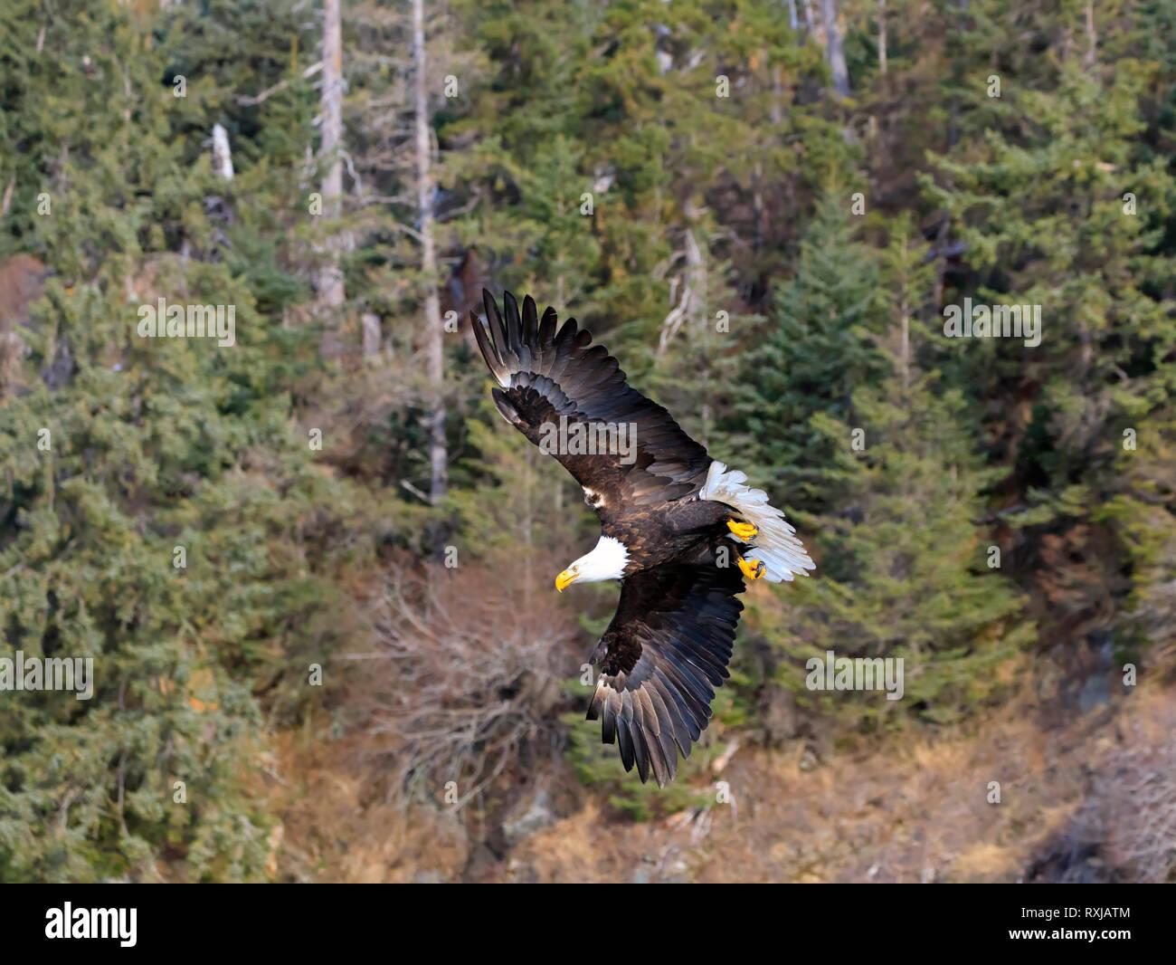 Bald eagle, Haliaeetus leucocephalus, in flight - Stock Image