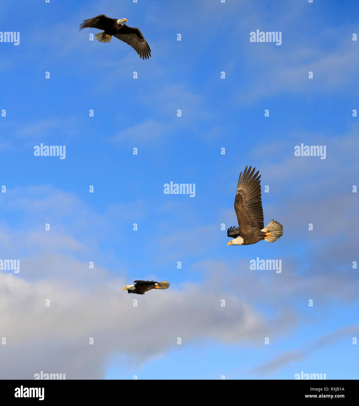 Bald eagles, Haliaeetus leucocephalus, in flight - Stock Image