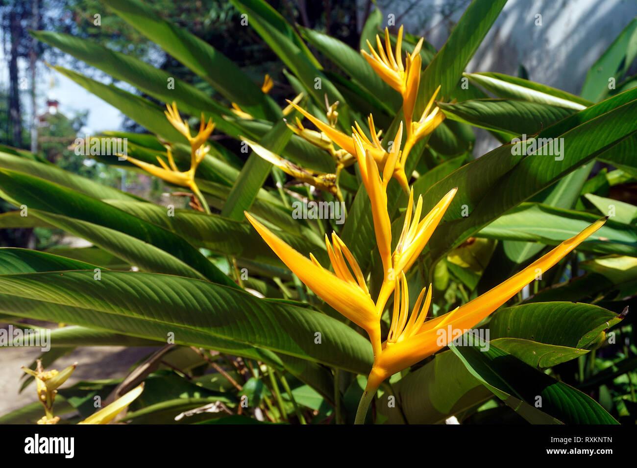 Golden Torch (Heliconia psittacorum x Heliconia spathocircinata), blooming, Koh Samui, Thailand - Stock Image