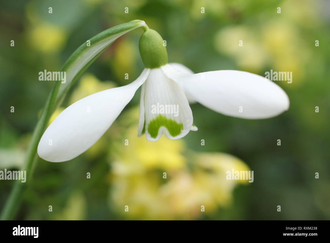 Galanthus 'Brenda Troyle' snowdrop flowering in an English country garden, - February, UK - Stock Image