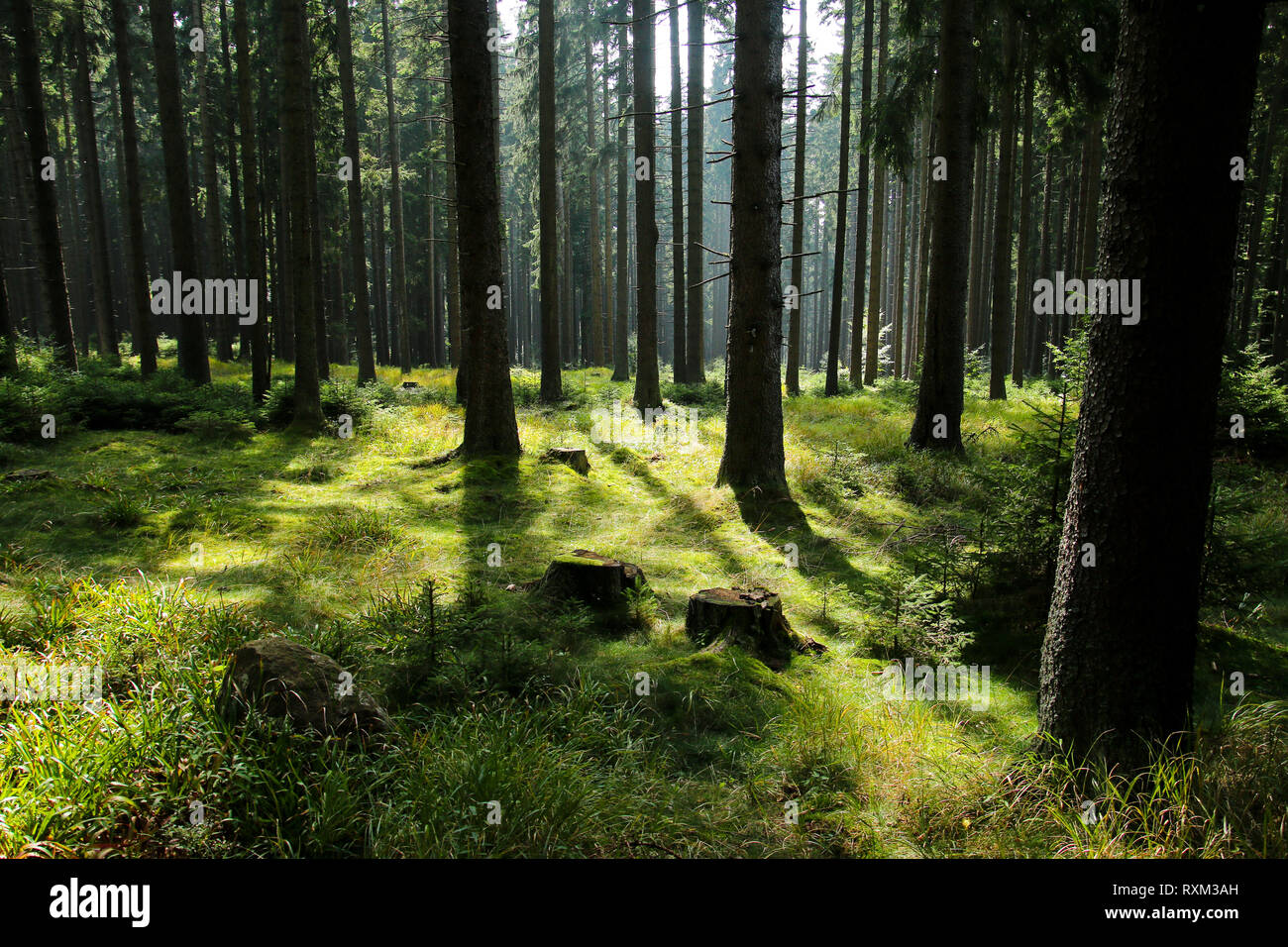 A picture from the old deep Boubín wood in Czech Republic. - Stock Image