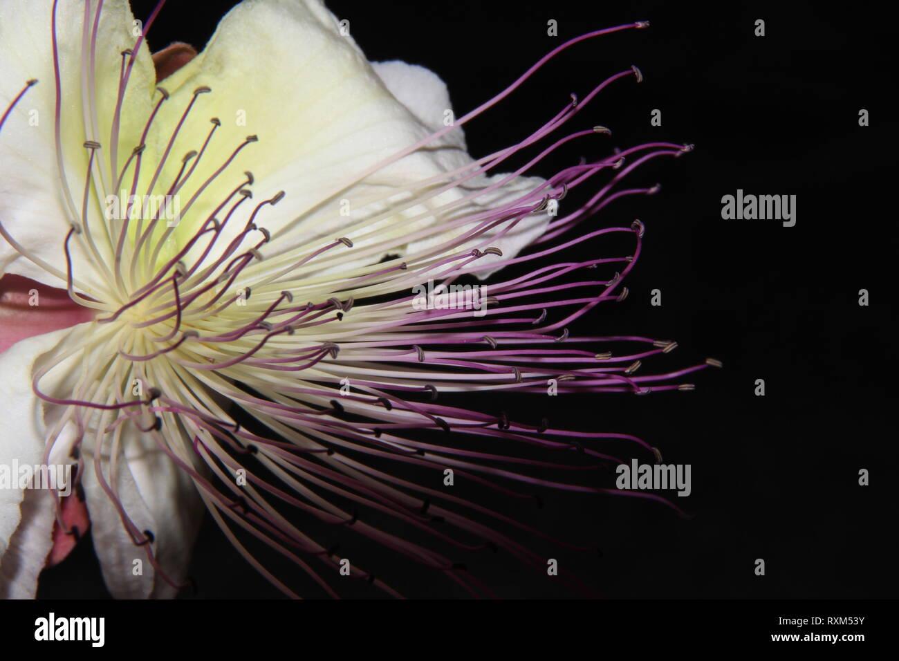 Capparis spinosa - Stock Image