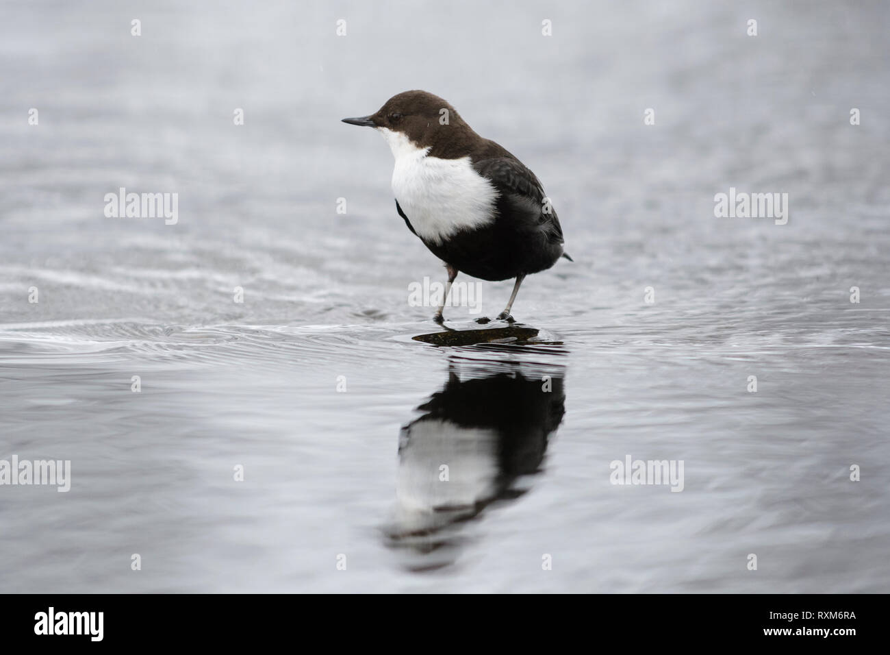 Black-bellied dipper in a streaming river during winter, Kuusamo, Finland - Stock Image