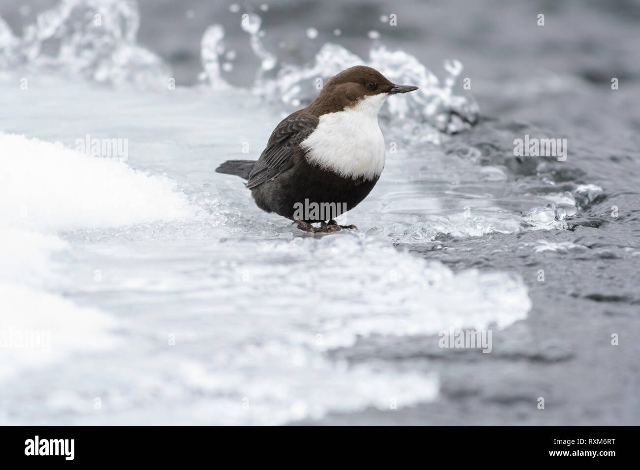 Black-bellied dipper on ice in a streaming river, Kuusamo, Finland - Stock Image