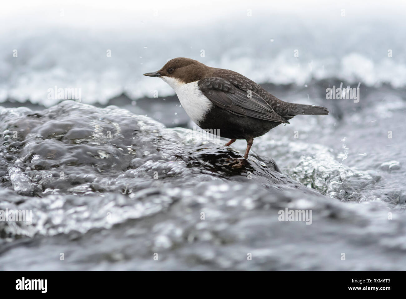 Black-bellied dipper standing in streaming water with ice on the shore, Kuusamo, Finland - Stock Image