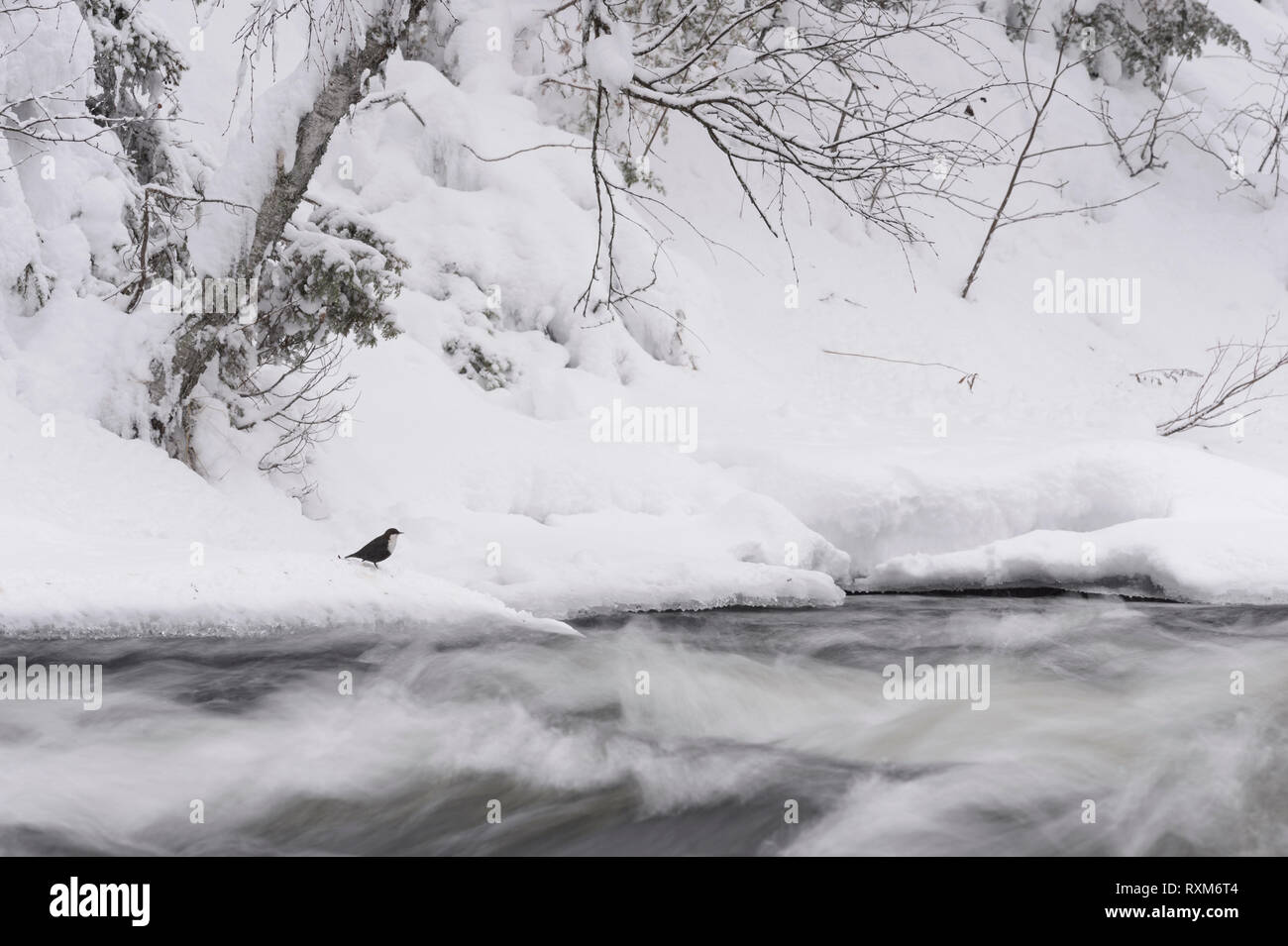 Dipper on the frozen bank of a wild streaming river in an winter landscape with snow and trees on the shore, Kuusamo, Finland - Stock Image