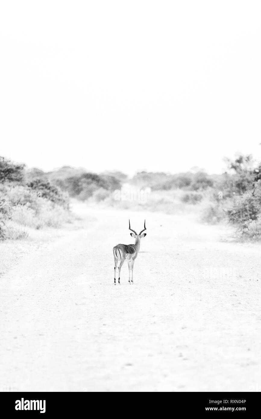 Black and white image of an impala, Etosha National Park, Namibia. - Stock Image