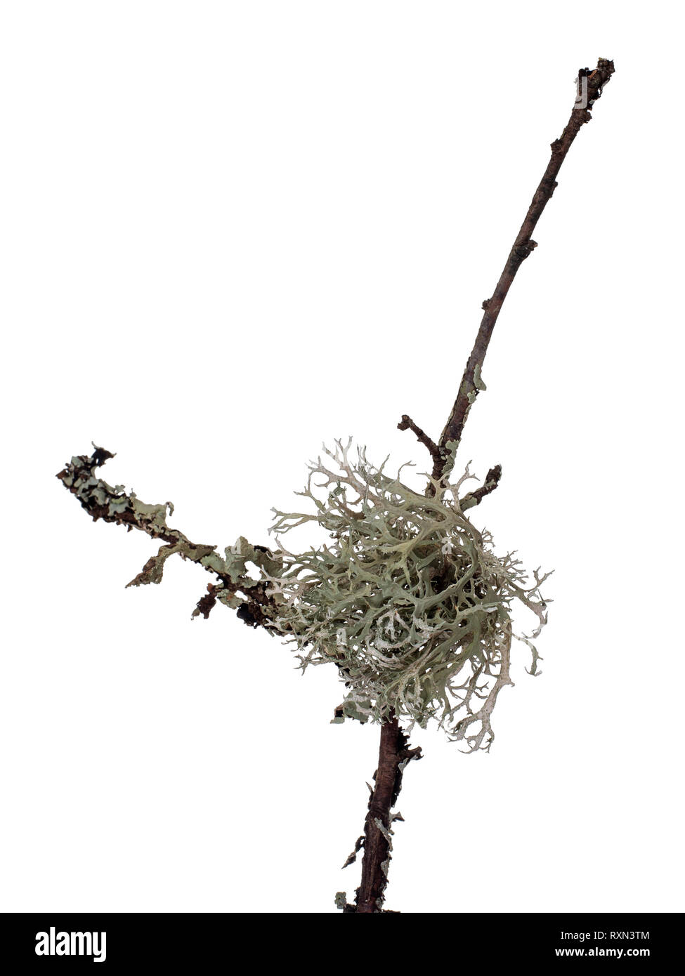 Ramalina lichen, green fruticose type with flattened, strap-like branches. Aka strap or cartilage lichens. Closeup, on twig, isolated on white. - Stock Image