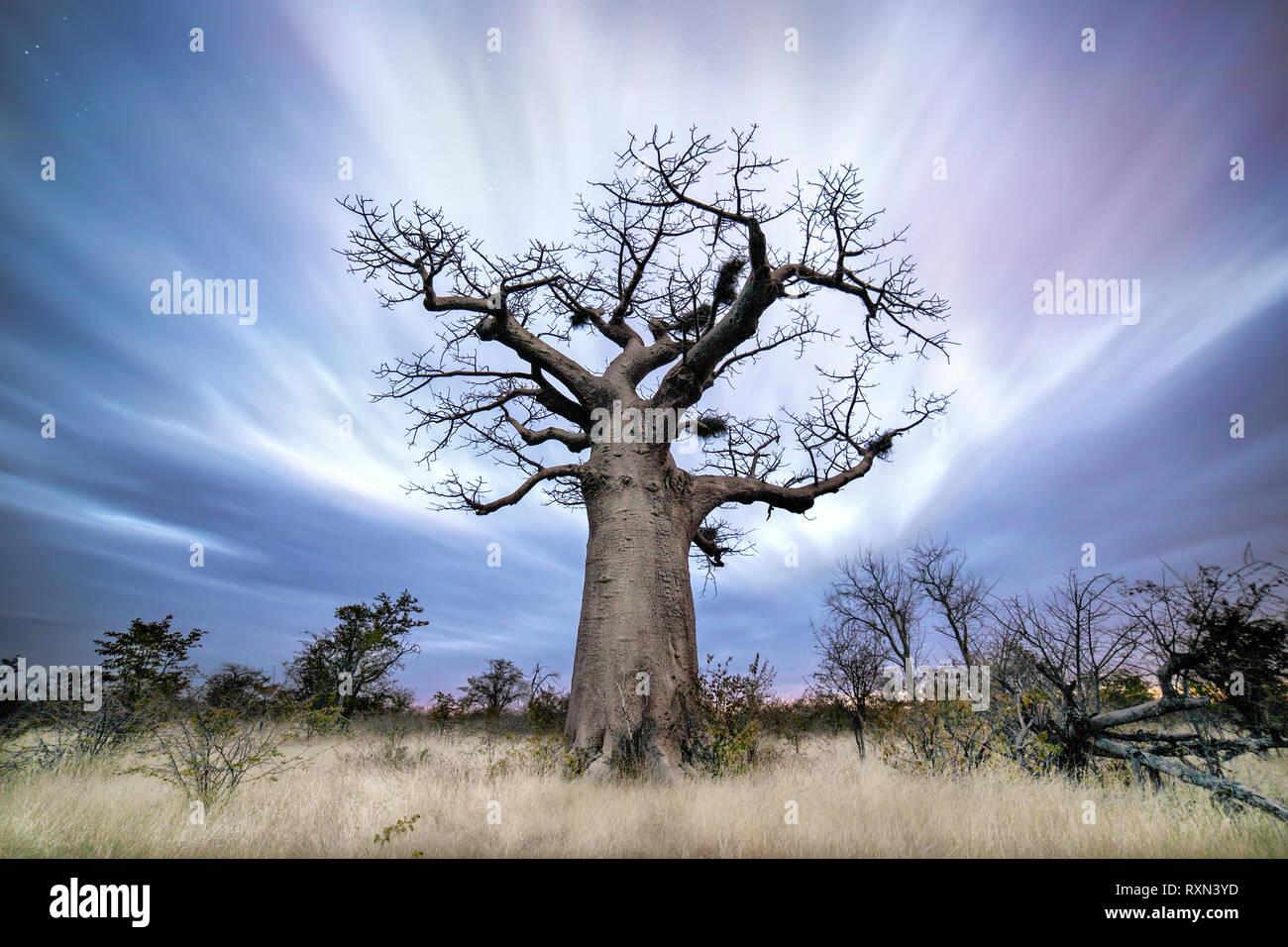 A Baobab tree at Dusk in Botswana. - Stock Image