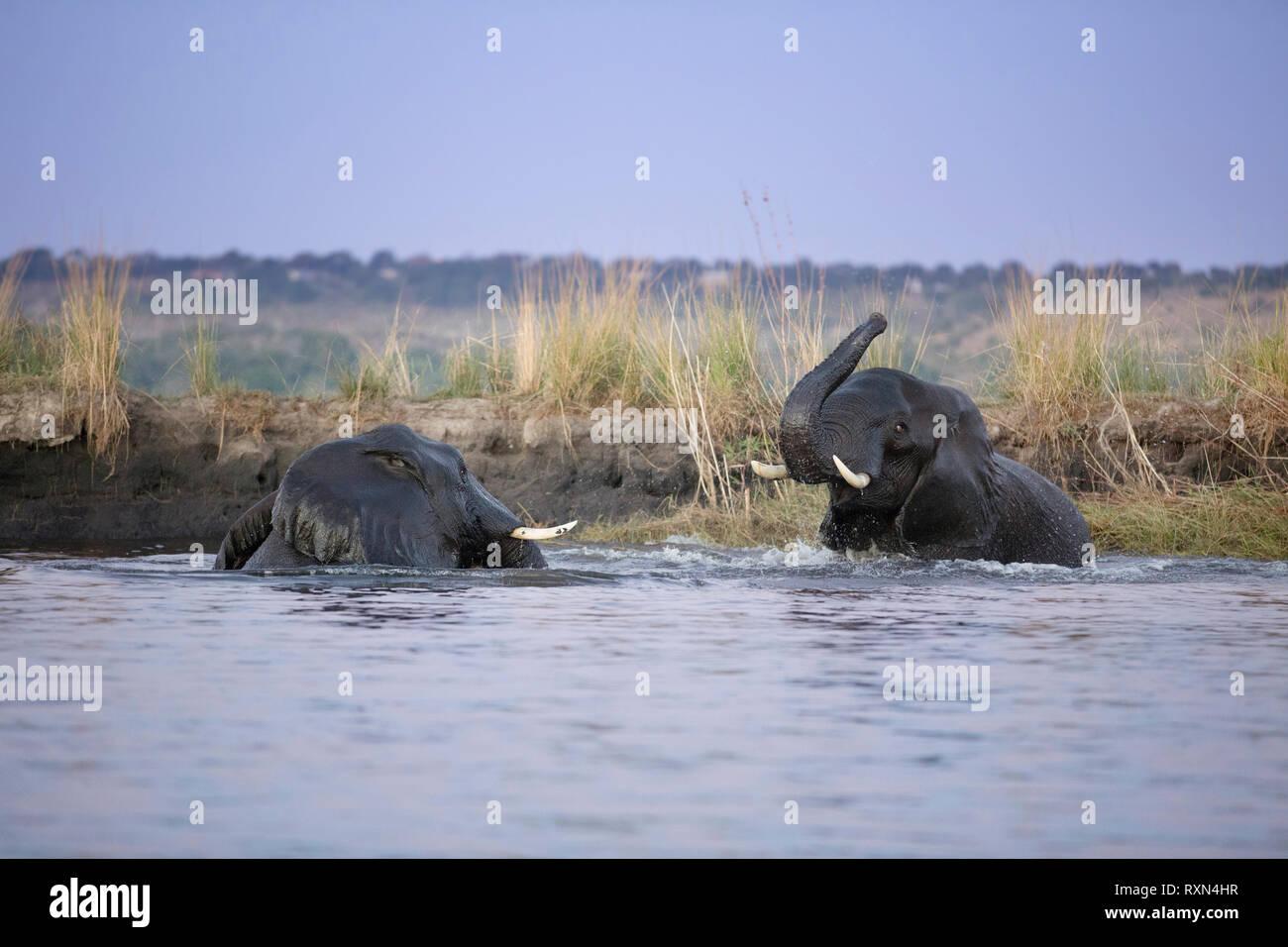 Elephants play in the Chobe River, Botswana. - Stock Image