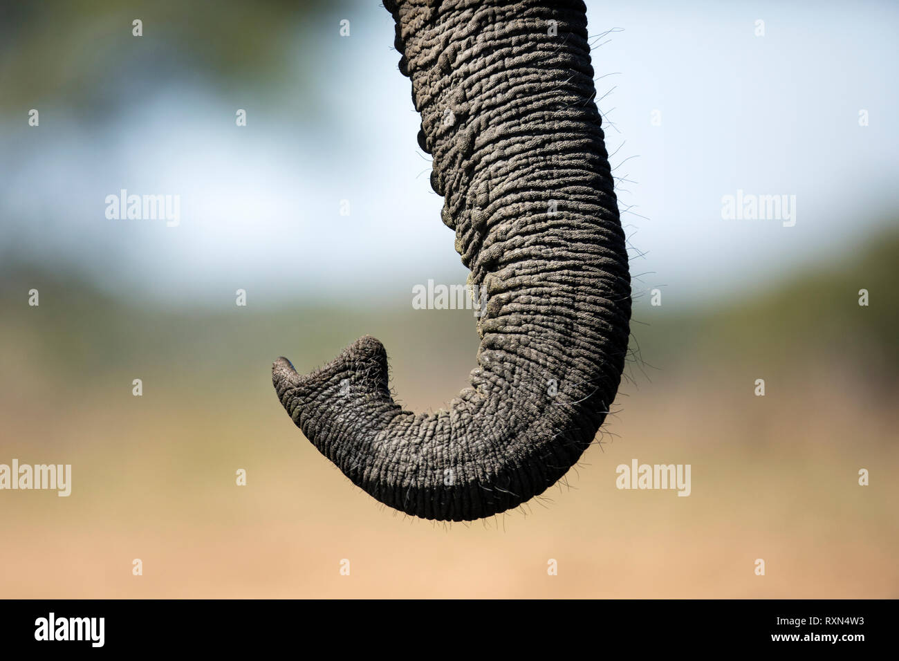 A close up detail of an elephant in Chobe National Park, Botswana. - Stock Image
