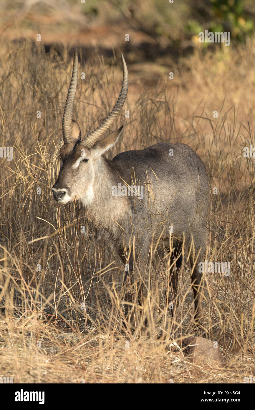 A male waterbuck on the Chobe Rivers Shore. Stock Photo