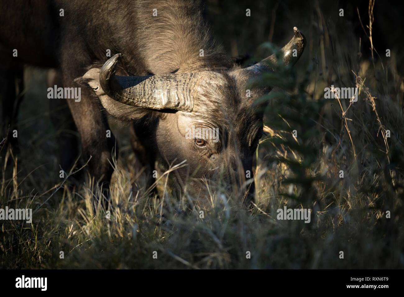 A buffalo in Chobe national Park, Botswana. - Stock Image