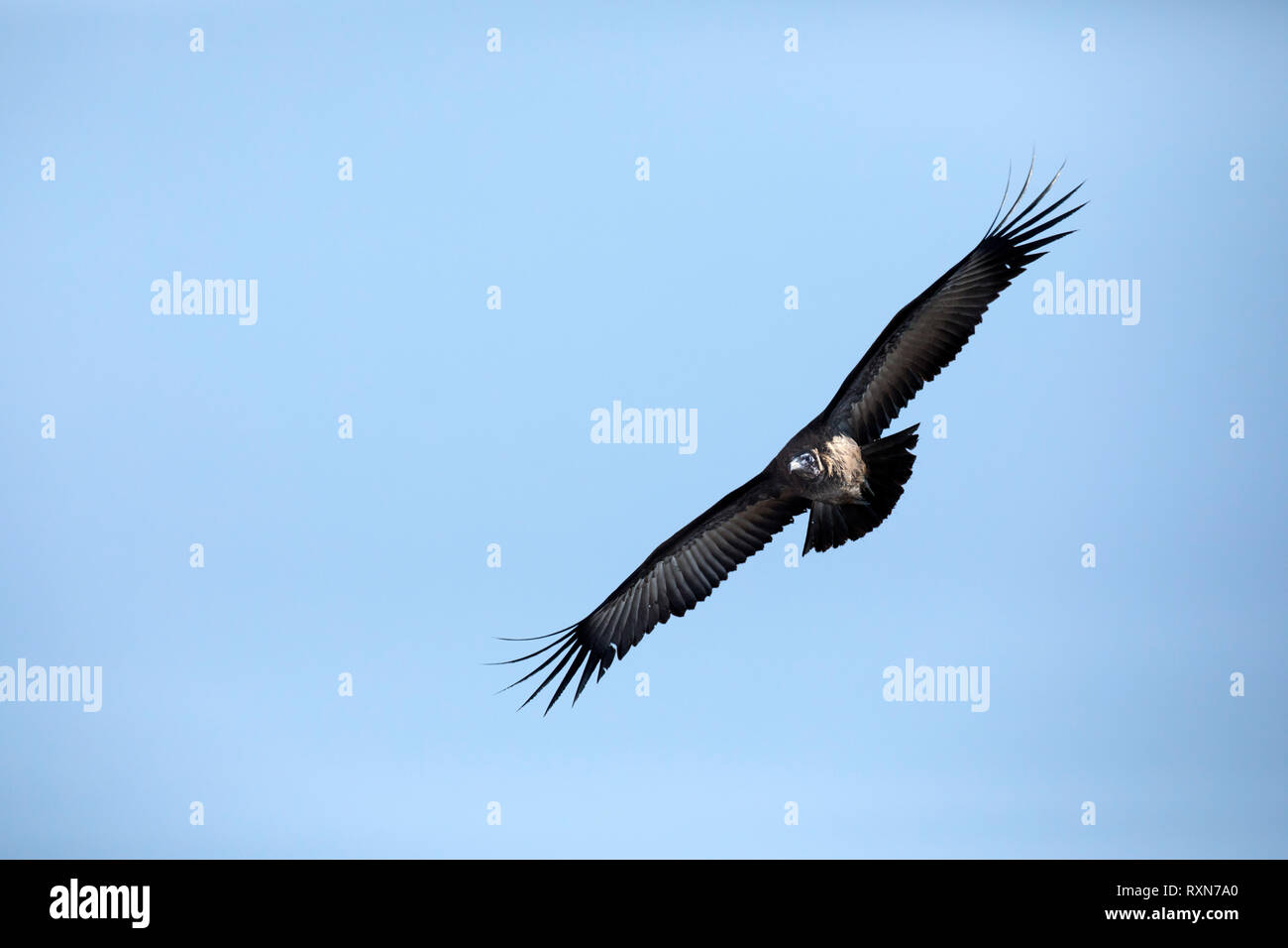 A Vulture soaring in the sky - Stock Image