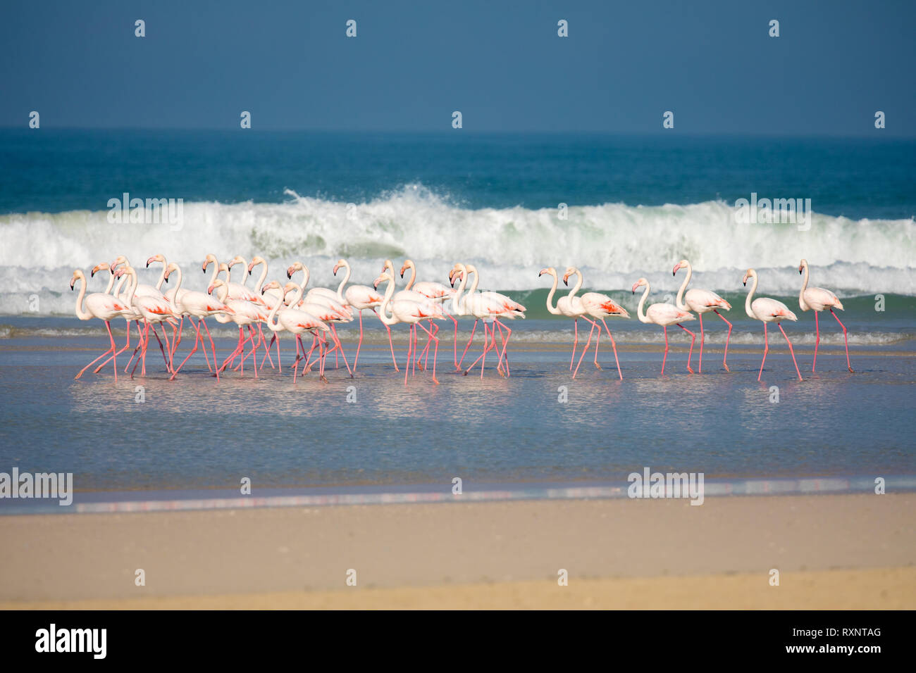 swarm of standing Flamingos in the De Mond coastal nature reserve, South Africa, with blue Indian Ocean waves in the background - Stock Image