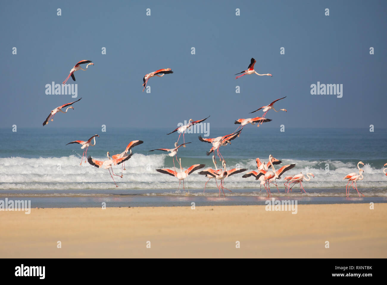 swarm of flying Flamingos in the De Mond coastal nature reserve, South Africa, with blue Indian Ocean waves in the background - Stock Image