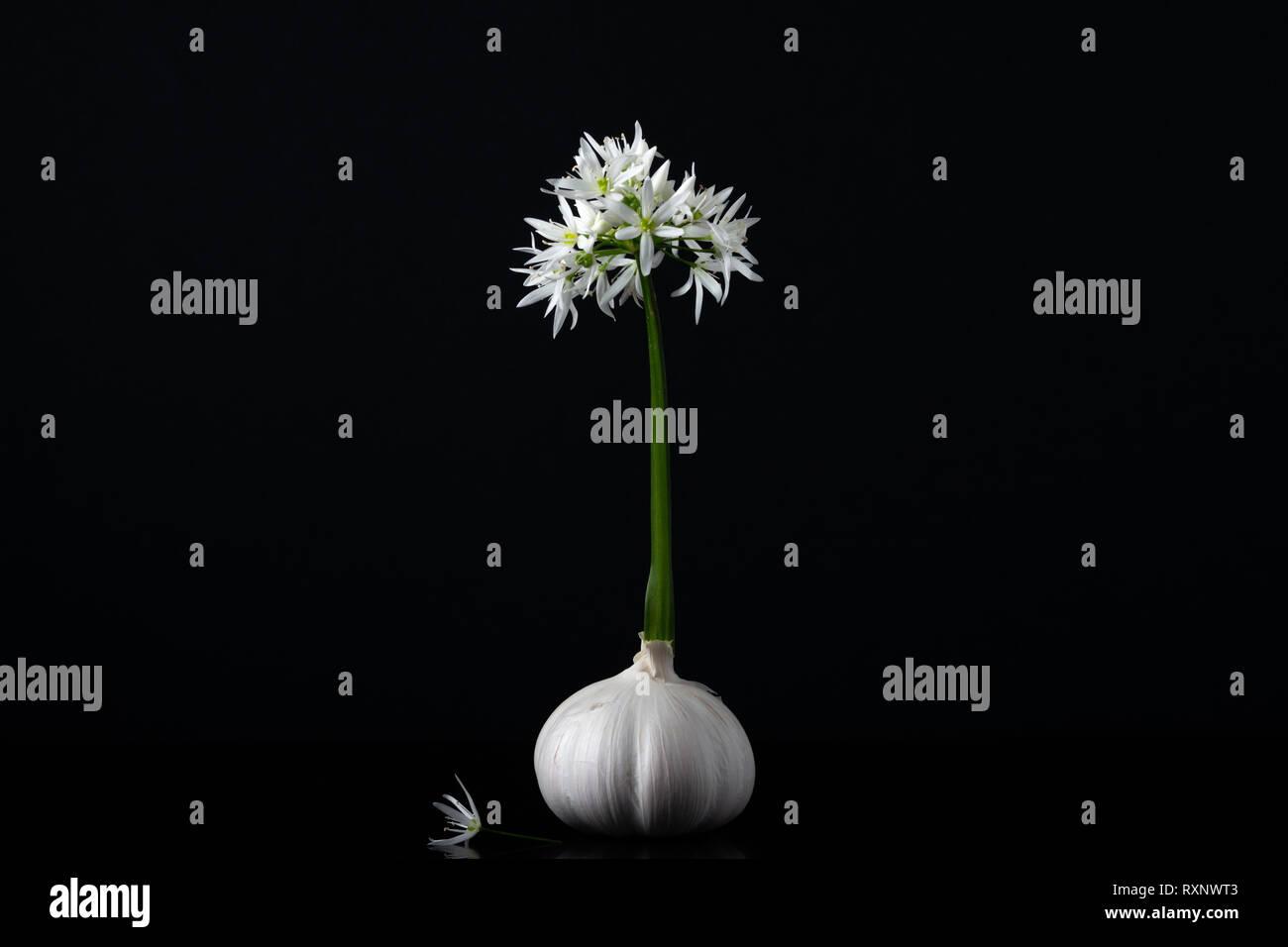 Wild garlic flower head (Allium Longicuspis ) and garlic bulb (Allium Sativum) as a creative composition on black background - Stock Image