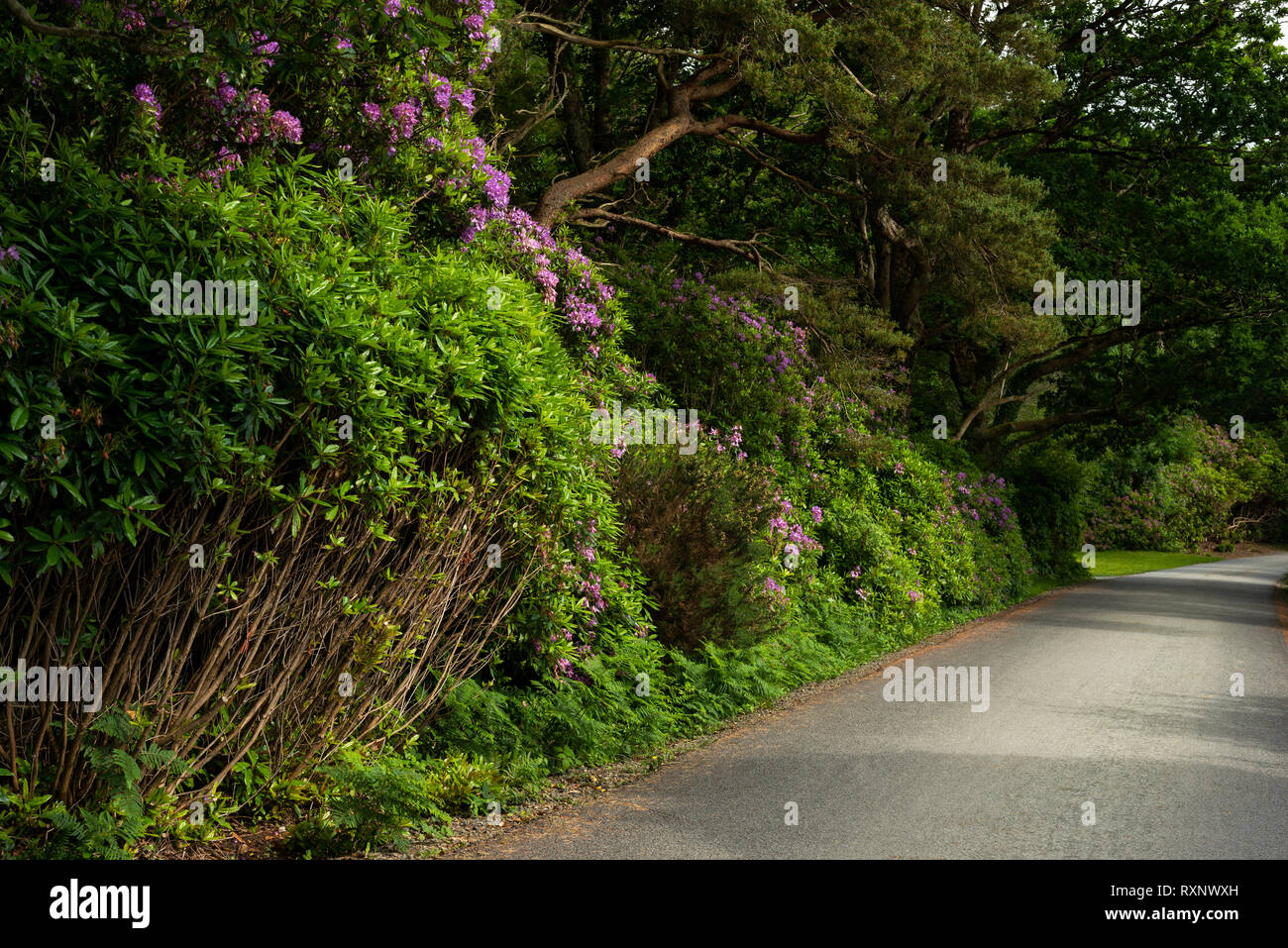 Rhododendron infestation in Killarney National Park,County Kerry,Munster,Ireland.This non-native harmful invasive species threaten the Park's beauty. - Stock Image