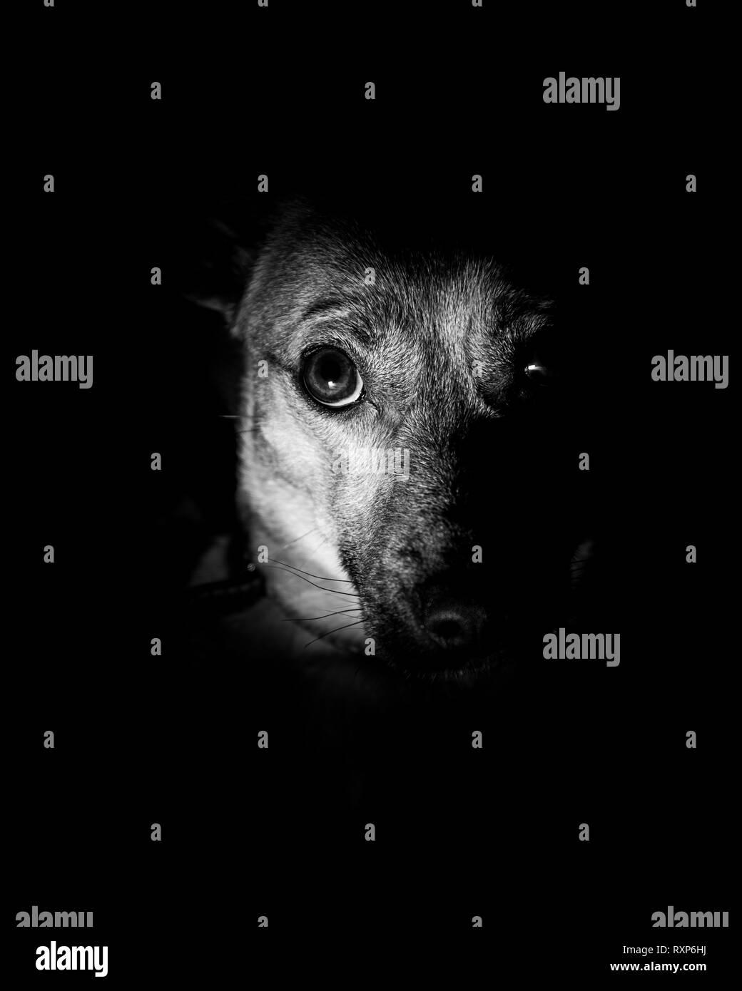 Cute dog - sad puppy eyes on black background - Stock Image