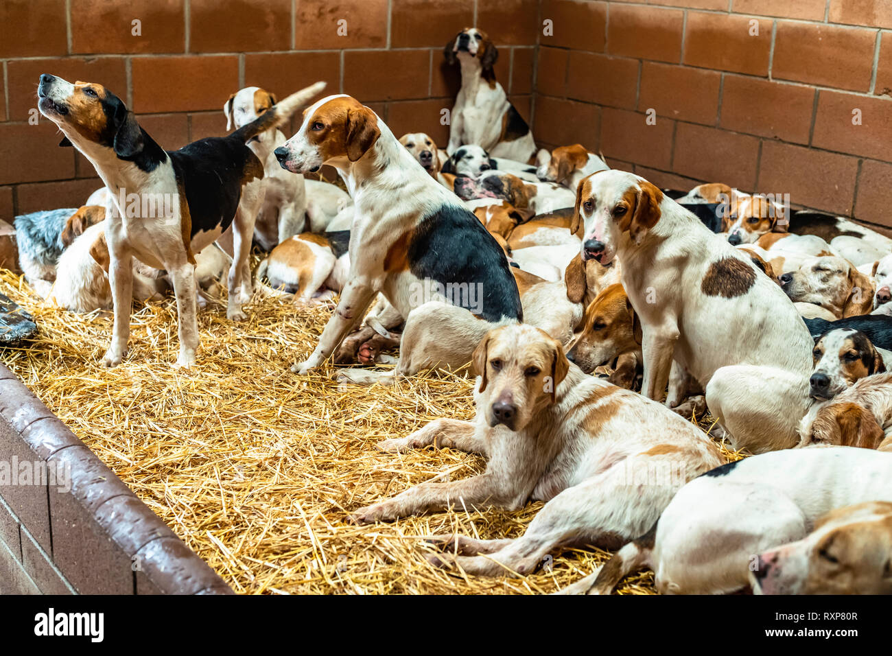 Eildon, Melrose, Scottish Borders, UK. 5th March 2019. Foxhounds of the Duke of Buccleuch Hunt enjoy a day off in their kennels near the Eildon Hills. - Stock Image