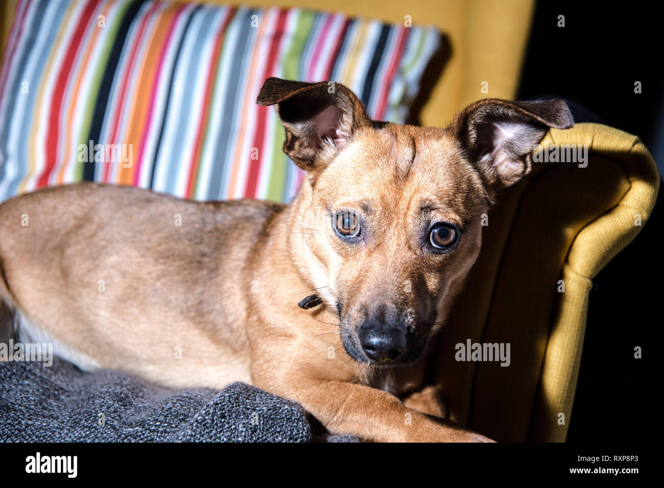 Cute brown puppy sitting on a sofa - dog photography ...