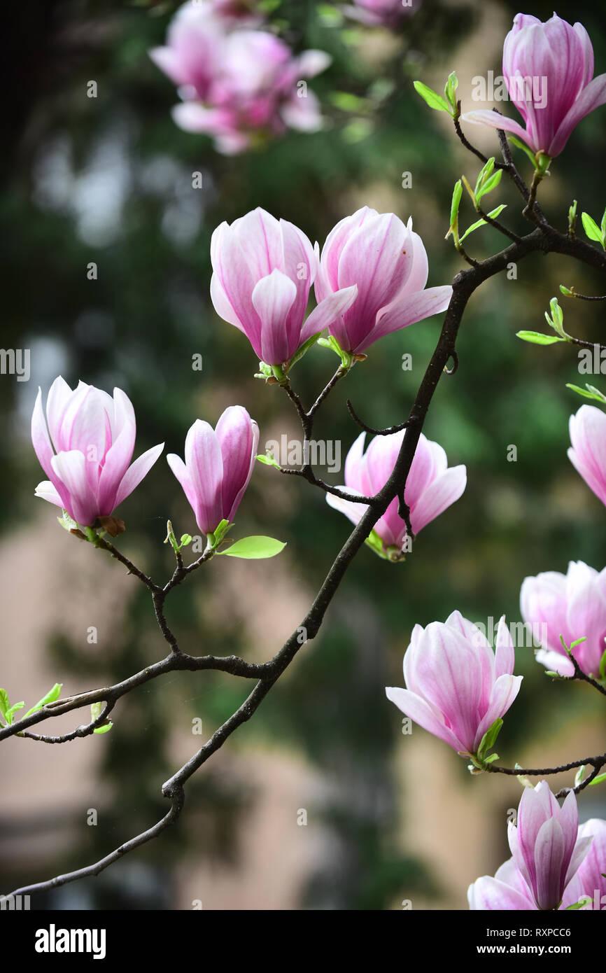 Magnolia flower bloom on blurred background - Stock Image