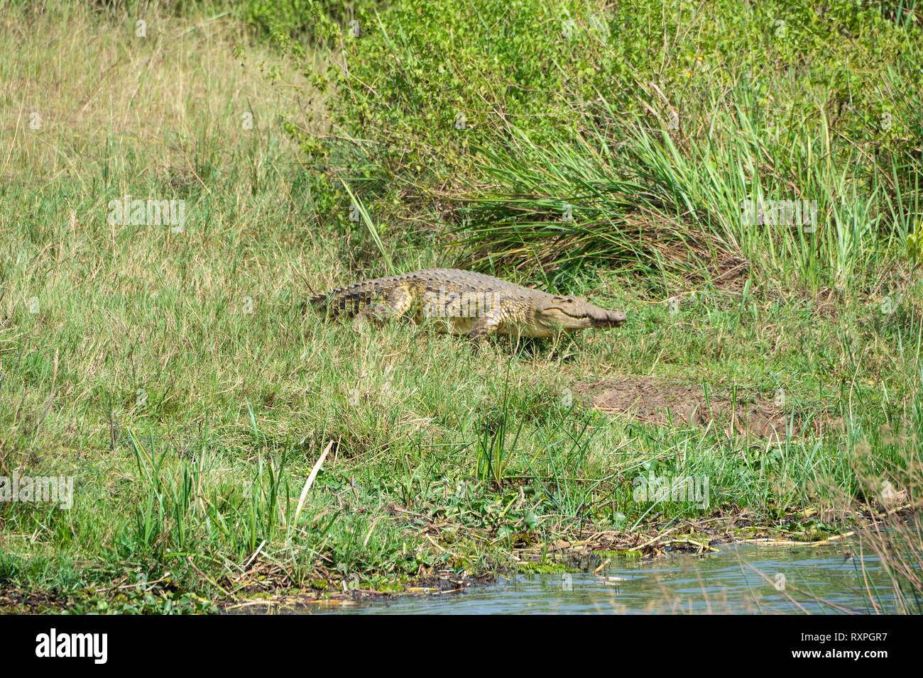 Nile crocodile (Crocodylus niloticus) heading towards Victoria Nile river in Murchison Falls National Park, Northern Uganda, East Africa - Stock Image