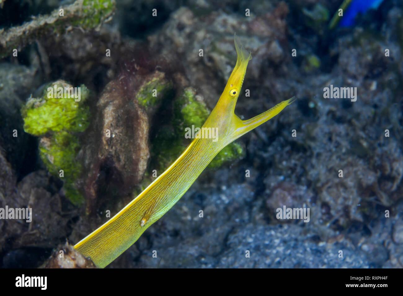 Adult female ribbon eel (Rhinomuraena quaesita) become yellow. Lembeh Straits, Indonesia. Stock Photo
