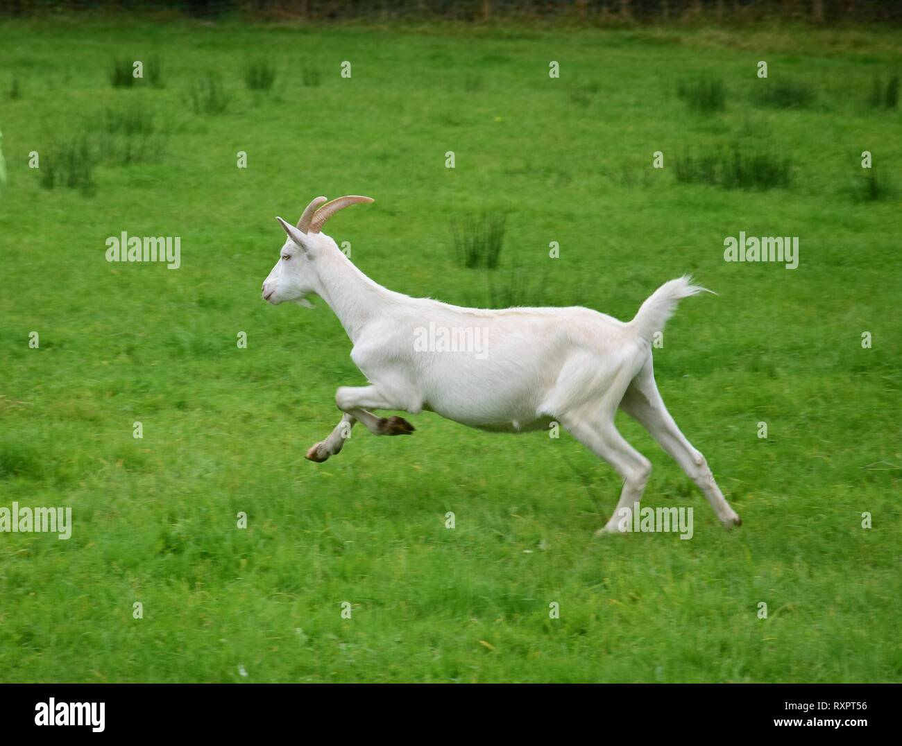 A white goat with horns running on a meadow in Ireland. - Stock Image