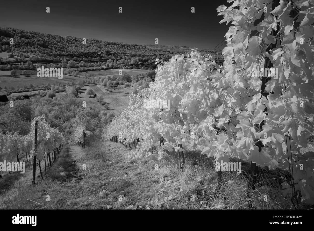 Vineyard vines in a infrared black and white landscape photography