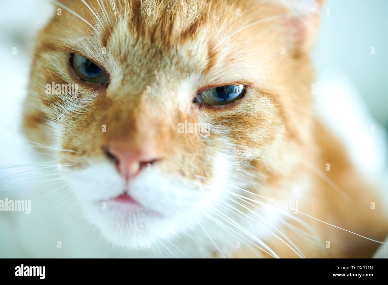 Orange and white domestic cat is watching you. - Stock Image