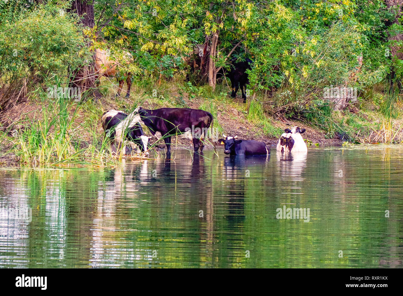 Cows stand in the water on a hot day - Stock Image