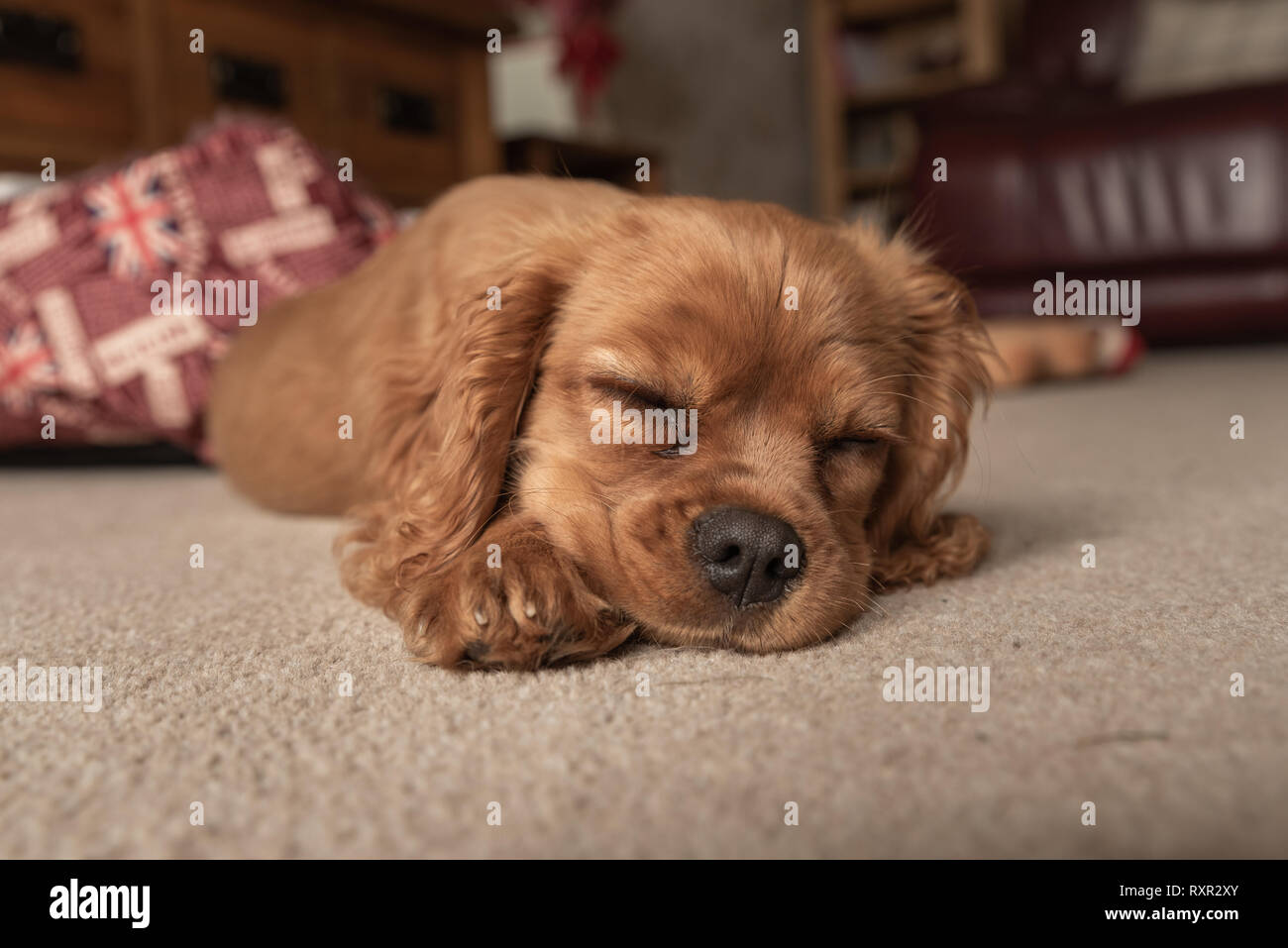 A closeup profile shot of a single isolated ruby Cavalier King Charles Spaniel puppy. - Stock Image