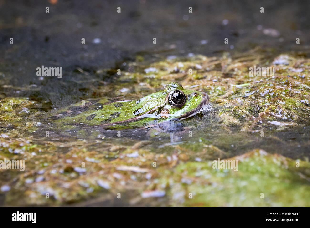 Common water frog (Pelophylax kl. esculentus) in water - Stock Image