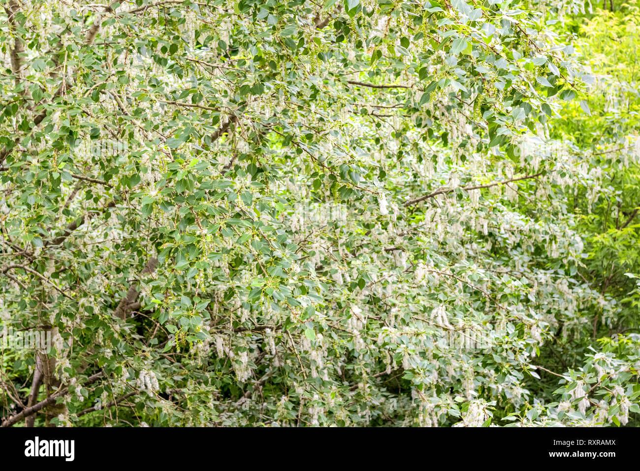 Poplar fluff on the tree - Stock Image