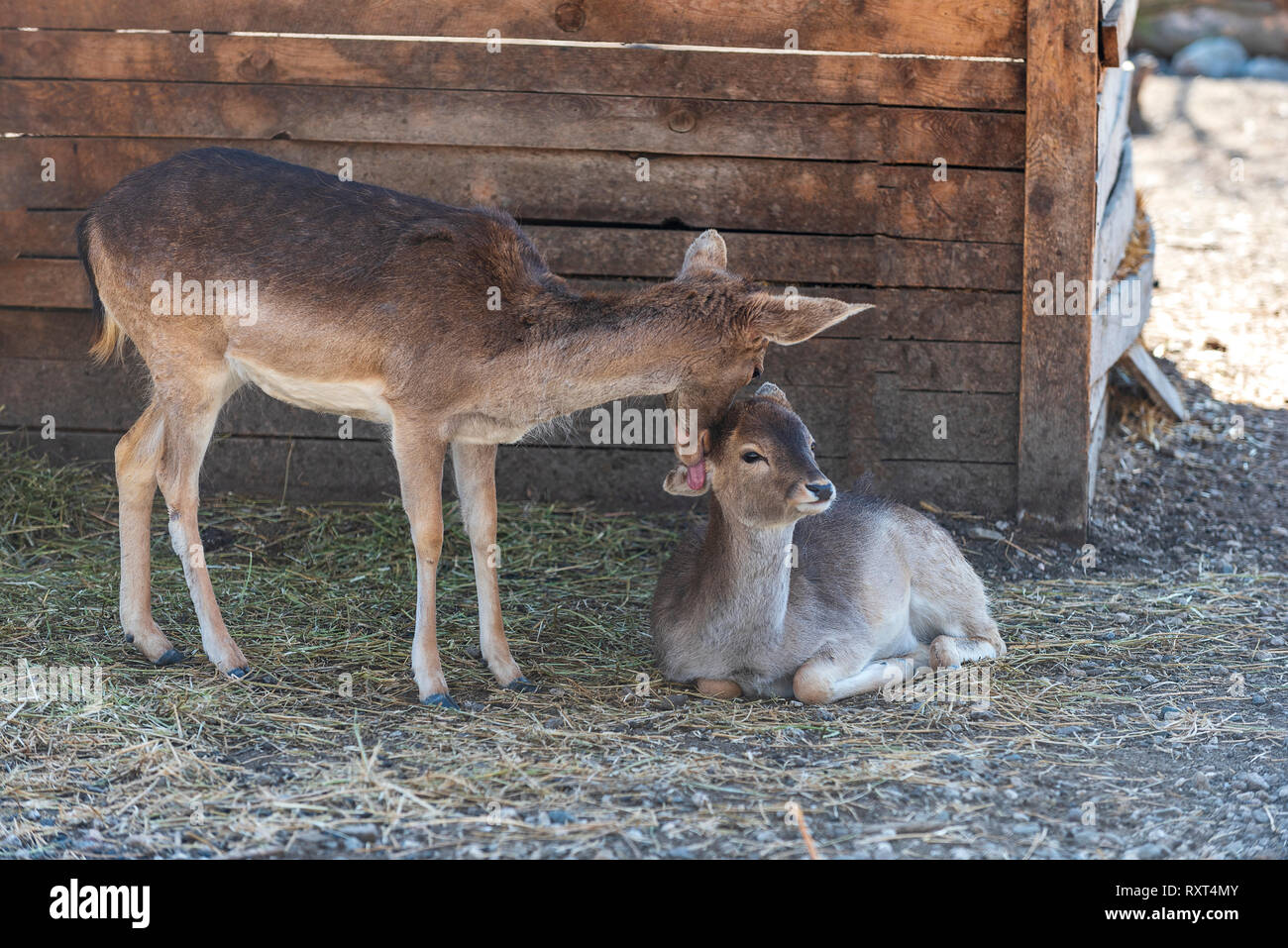 Motherly love. Red deer doe appears to be kissing her fawn - Stock Image