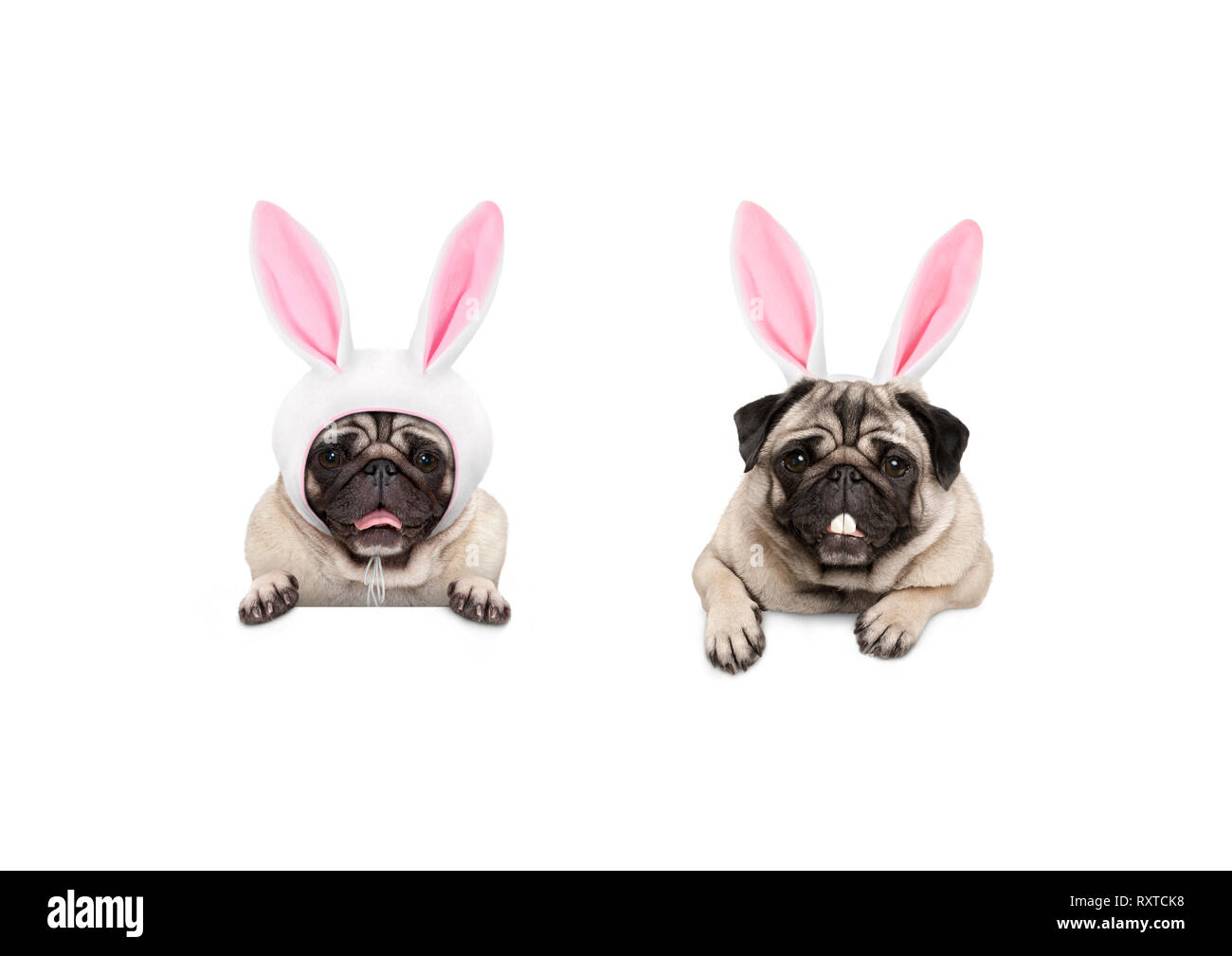 two cute pug puppy dogs, dressed up as easter bunnies, hanging with paws on white banner, isolated Stock Photo