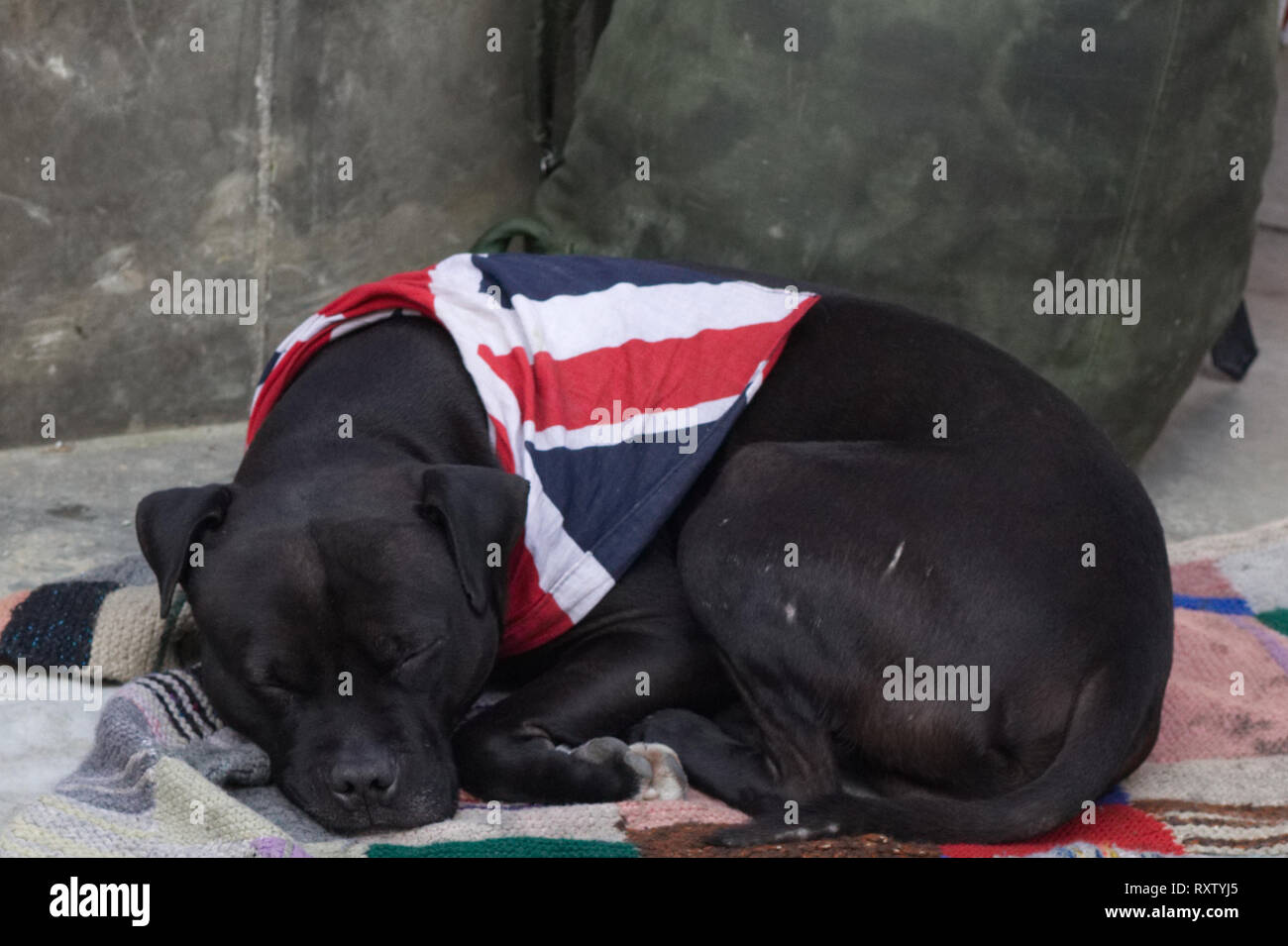 dog sleeping at a Brexit protest with union jack flag. London England - Stock Image
