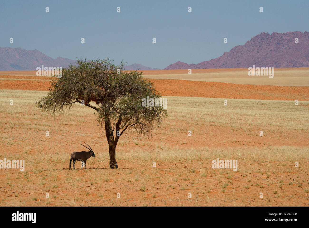 Oryx,Gemsbok,Oryx Gazella,staying cool under an Acacia tree at noon,in the Namib Rand Nature Reserve,western Namibia,Africa. The Oryx has evolved physiological adaptations allowing it to go without water for months - Stock Image