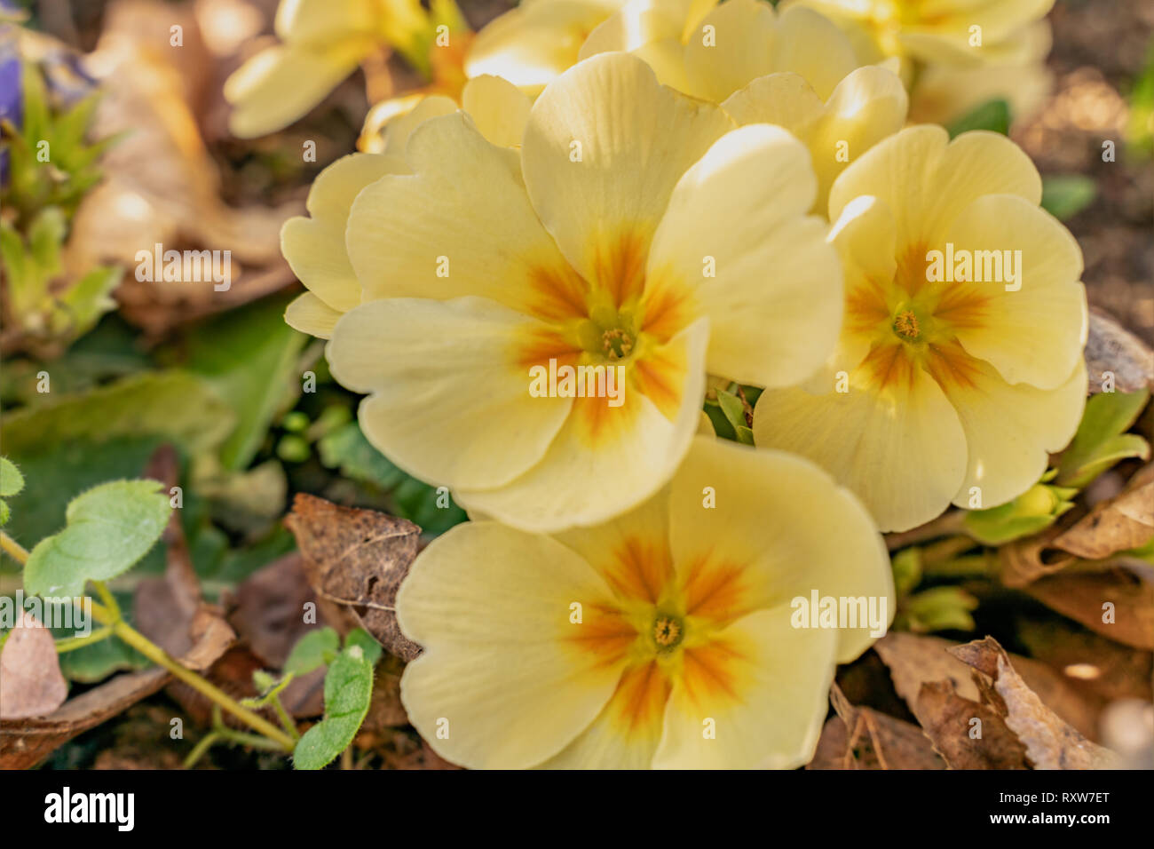 Flowers of Pansy in a garden bed in full bloom. Yellow pansies represent happiness or a bright disposition which is ideal for spring - Stock Image