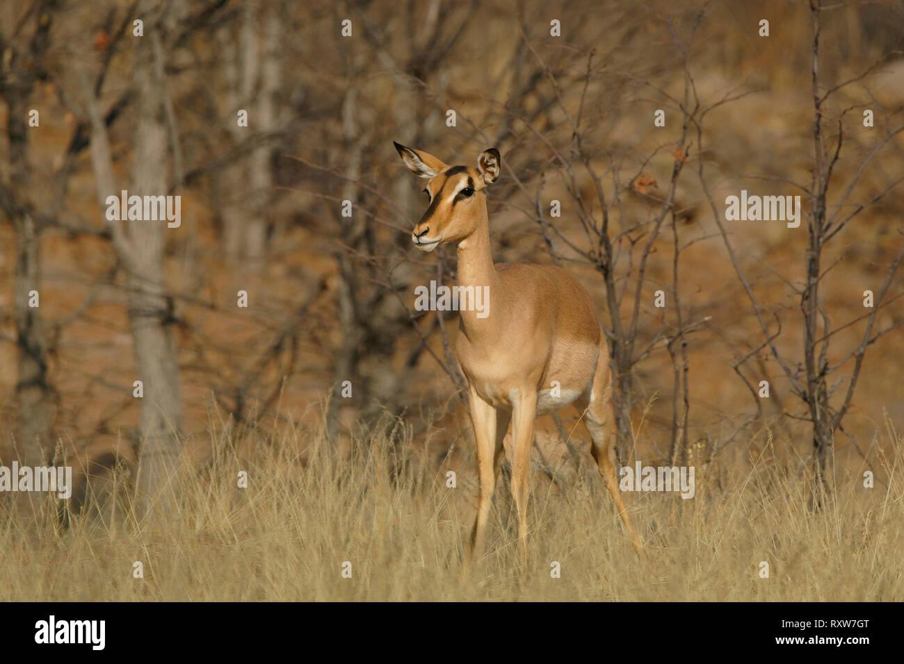Black-faced Impala ewe (Aepyceros melampus) is a medium sized antelope found in southern Africa, Hobatera Lodge,Otjovasandu,Namibia, Africa - Stock Image