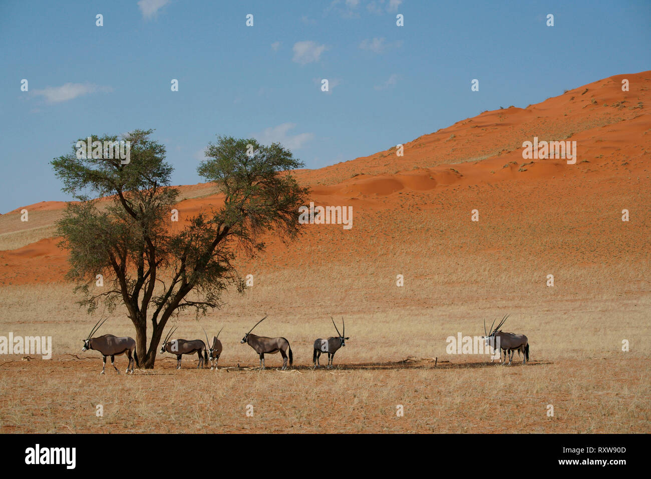 Oryx,Gemsbok,Oryx Gazella,a group of oryx staying cool under an Acacia tree at noon,in the Namib Rand Nature Reserve,western Namibia,Africa. The oryx has evolved physiological adaptations allowing it to go without water for months. - Stock Image