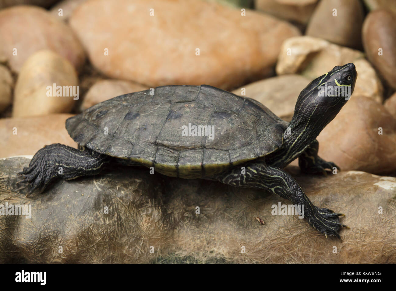 Florida red-bellied cooter (Pseudemys nelsoni), also known as the Florida redbelly turtle. Stock Photo