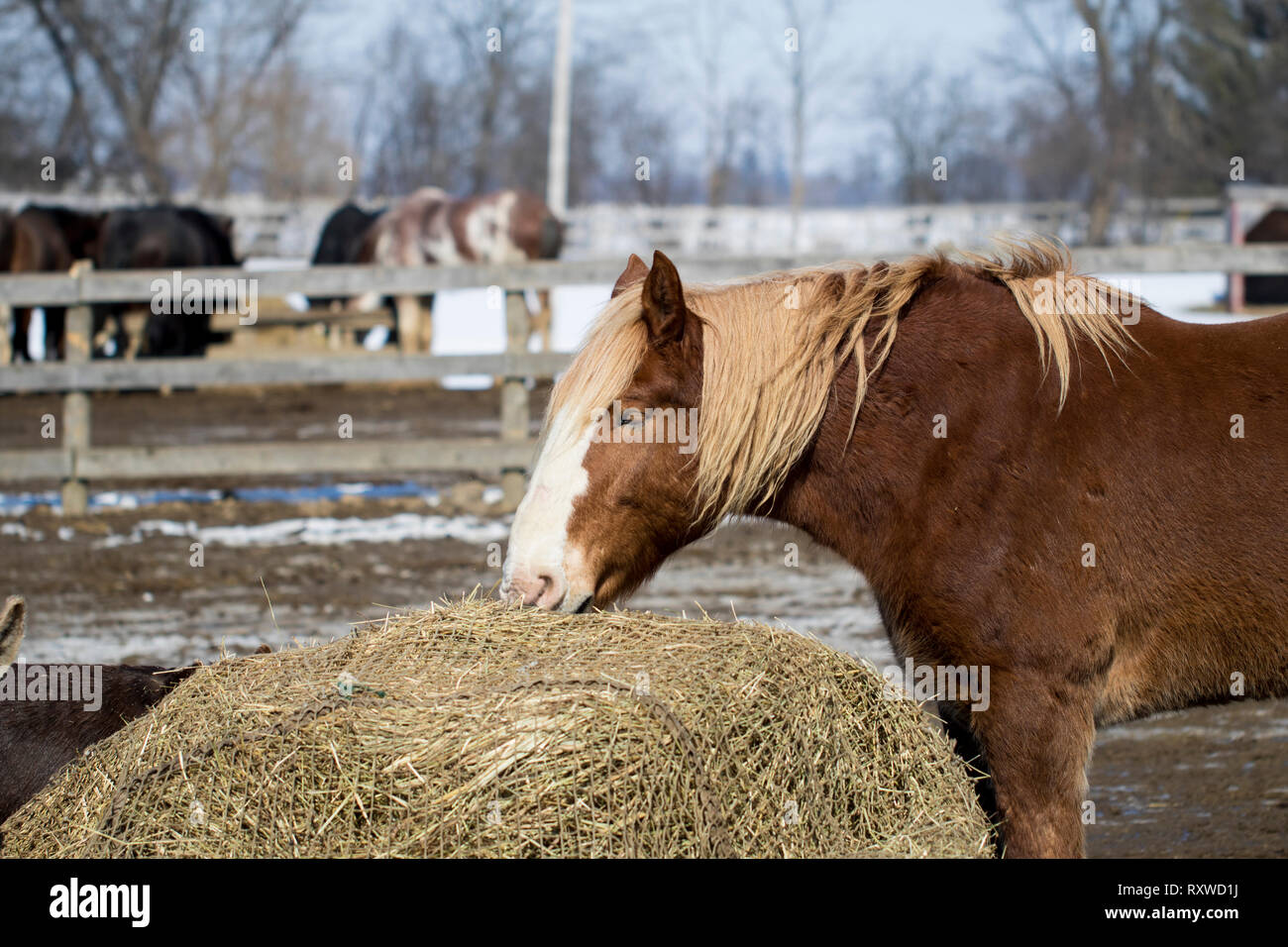 Stallion horse grazing on hay at a farm sanctuary close up. Beautiful brown horse with long mane outside on a ranch. - Stock Image
