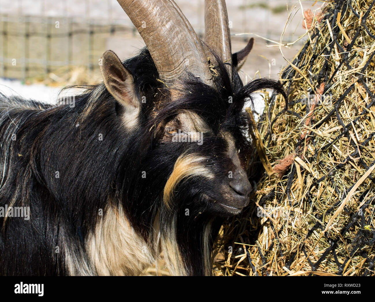 Billy goat with long horns chewing on hay close up. Adorable and furry goat eating food close up on a farm in the winter time. - Stock Image